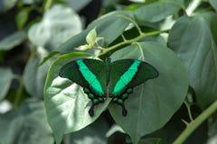 Ενωμένη peacock πεταλούδα στοκ φωτογραφίες