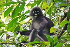 ενωμένος πίθηκος φύλλων Στοκ εικόνα με δικαίωμα ελεύθερης χρήσης