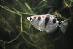Ενωμένος archerfish Στοκ φωτογραφία με δικαίωμα ελεύθερης χρήσης