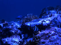ενωμένος butterflyfish στοκ εικόνα