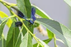 Ενωμένος demoisele, Calopteryx splendens, κατά την πτήση στοκ φωτογραφία με δικαίωμα ελεύθερης χρήσης