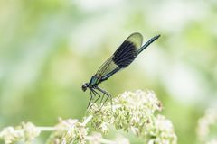 Ενωμένος demoiselle, Calopteryx splendens, καθμένος στις εγκαταστάσεις στοκ φωτογραφίες
