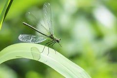 Ενωμένος demoiselle, Calopteryx splendens, προσγειωμένος στο φύλλο στοκ εικόνες με δικαίωμα ελεύθερης χρήσης