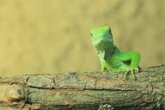 ενωμένο λατινικό όνομα iguana των Φίτζι fasciatus brachylophus Στοκ Φωτογραφία