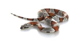 ενωμένο γκρίζο φίδι βασιλ& Στοκ Εικόνες