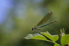 Ενωμένο θηλυκό Demoiselle στοκ φωτογραφίες