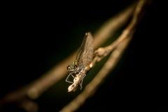Ενωμένο λιβελλούλη Demoiselle στον κλάδο Στοκ Εικόνες