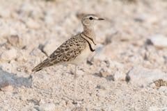 Ενωμένο διπλάσιο courser πουλί Στοκ Φωτογραφία
