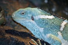 ενωμένο λατινικό όνομα iguana των Φίτζι fasciatus brachylophus Στοκ Εικόνα