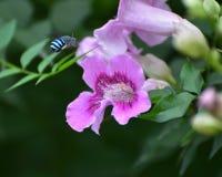 ενωμένο μπλε μελισσών Στοκ εικόνα με δικαίωμα ελεύθερης χρήσης