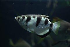 Ενωμένο Archerfish (Toxotes Jaculatrix) Στοκ εικόνα με δικαίωμα ελεύθερης χρήσης