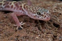 ενωμένο gecko δυτικό Στοκ εικόνα με δικαίωμα ελεύθερης χρήσης