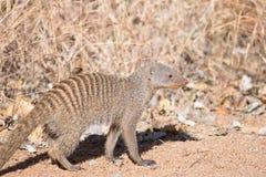 Ενωμένο mongoose που περπατά στο ξηρό veld Στοκ Εικόνες