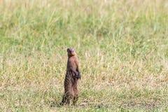 Ενωμένο mongoose που στέκεται επάνω Στοκ Εικόνες