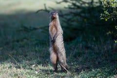 Ενωμένο Mongoose που στέκεται στα οπίσθια πόδια Στοκ Εικόνες