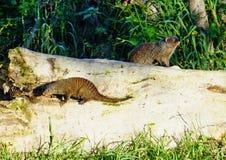 Ενωμένο mongoose στην αναζήτηση τροφών Στοκ Φωτογραφίες