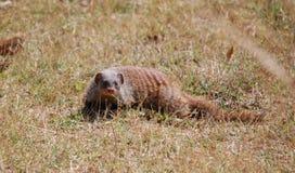 Ενωμένο Mongoose στο εθνικό πάρκο νότιου Luangwa, Ζάμπια Στοκ Εικόνες