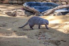 Ενωμένο mongoose στο ζωολογικό κήπο του Tbilisi, ζώο Στοκ Φωτογραφία