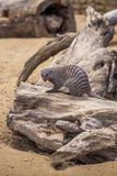 Ενωμένο mongoose στο ζωολογικό κήπο του Tbilisi, ζώο Στοκ εικόνα με δικαίωμα ελεύθερης χρήσης