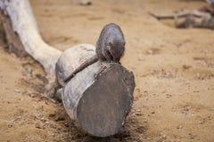 Ενωμένο mongoose στο ζωολογικό κήπο του Tbilisi, ζώο Στοκ Εικόνες