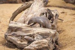 Ενωμένο mongoose στο ζωολογικό κήπο του Tbilisi, ζώο Στοκ εικόνες με δικαίωμα ελεύθερης χρήσης