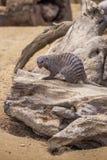 Ενωμένο mongoose στο ζωολογικό κήπο του Tbilisi, ζώο Στοκ Φωτογραφίες