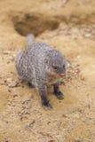 Ενωμένο mongoose στο ζωολογικό κήπο του Tbilisi, ζώο Στοκ φωτογραφία με δικαίωμα ελεύθερης χρήσης