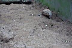 Ενωμένο mongoose στο κοίταγμα άμμου Στοκ Φωτογραφία