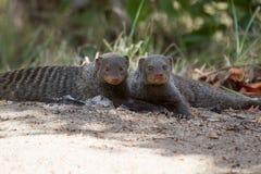 Ενωμένο mongoose υπόλοιπο που βρίσκεται οριζόντια στην άμμο Στοκ Εικόνες