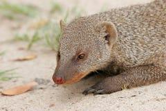 ενωμένο mongoose Στοκ εικόνες με δικαίωμα ελεύθερης χρήσης