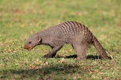 Ενωμένο mongoose Στοκ εικόνα με δικαίωμα ελεύθερης χρήσης