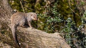 ενωμένο mongoose Στοκ φωτογραφία με δικαίωμα ελεύθερης χρήσης