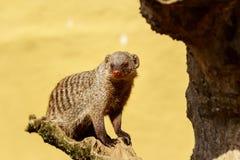 ενωμένο mongoose Στοκ Εικόνες