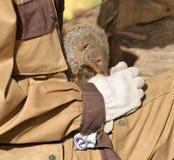 Ενωμένο mongoose Mungos mungo και ο φίλος του, άτομο Στοκ Φωτογραφίες