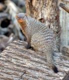 Ενωμένο mongoose Mungos mungo Πορτρέτο Στοκ Φωτογραφίες