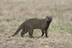 Ενωμένο mongoose, Mungos mungo Στοκ Φωτογραφία