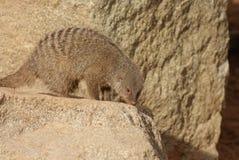 Ενωμένο Mongoose - Mungos mungo Στοκ Εικόνες