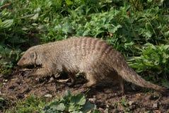 Ενωμένο Mongoose - Mungos mungo Στοκ φωτογραφίες με δικαίωμα ελεύθερης χρήσης