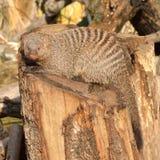 Ενωμένο mongoose Mungos mungo Στοκ Εικόνες