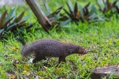 Ενωμένο mongoose Mungos mungo colonus Άγριο ζώο ζωής Στοκ Εικόνες
