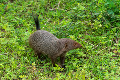 Ενωμένο mongoose Mungos mungo colonus Άγριο ζώο ζωής Yala, Στοκ φωτογραφίες με δικαίωμα ελεύθερης χρήσης