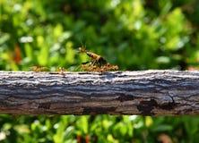 Ενότητα μυρμηγκιών Στοκ φωτογραφίες με δικαίωμα ελεύθερης χρήσης