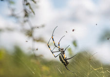 Ενώνω-με πόδια χρυσό θηλυκό αραχνών σφαίρα-Ιστού στο δίχτυ του στο βασιλικό εθνικό πάρκο Hlane Στοκ Φωτογραφία