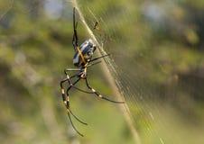Ενώνω-με πόδια χρυσό θηλυκό αραχνών σφαίρα-Ιστού στο δίχτυ του στο βασιλικό εθνικό πάρκο Hlane Στοκ εικόνα με δικαίωμα ελεύθερης χρήσης
