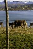 Ενώ μερικές αγελάδες βόσκουν στη λίμνη πίσω από οδοντωτό - καλώδιο Στοκ Φωτογραφίες