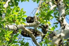 Ενδημικό Sulawesi Cuscus αφορά το δέντρο στοκ φωτογραφία