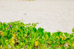 Εν πλω καλοκαίρι παραλιών φύσης εγκαταστάσεων αναρριχητικών φυτών ποδιών Στοκ Εικόνες