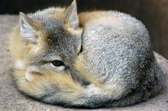 εξάρτηση αλεπούδων Στοκ Εικόνα