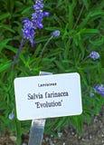 Εξέλιξη farinacea Salvia Στοκ φωτογραφία με δικαίωμα ελεύθερης χρήσης