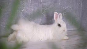 Εξέταση ένα περίεργο άσπρο κουνέλι μέσω της μουτζουρωμένης χλόης απόθεμα βίντεο